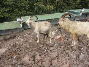 goats_dizzyheights